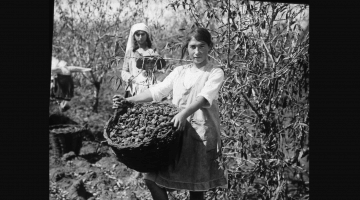 Harvesting fertile orchards in early 20th century Eretz-Israel