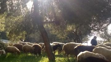 Sheep in Jerusalem at sunrise